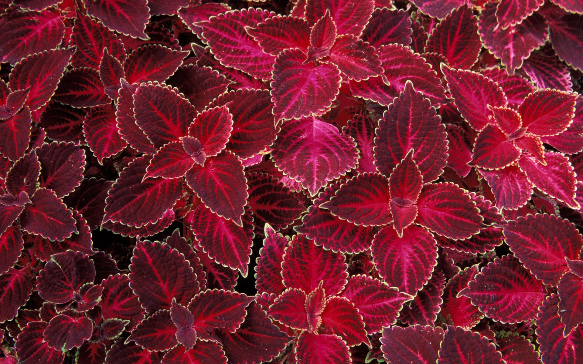 texture leaves, red foliage, download photo