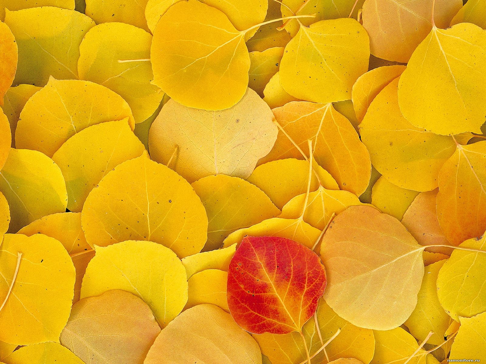 texture autumn, foliage, download photo, leaves texture, yellow leaves