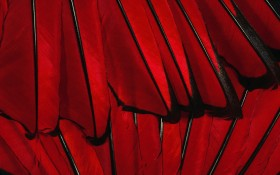 red feather texture, download photo, background, red перья, перо, texture