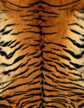 мех, skin tigerа, download photo, texture fur, tiger fur texture background, background