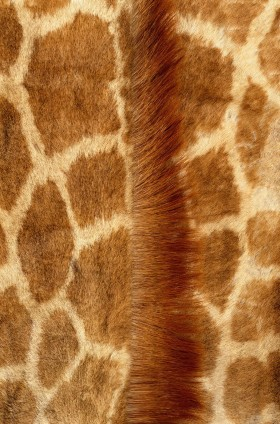 мех, skin giraffe, texture fur, fur texture background, background