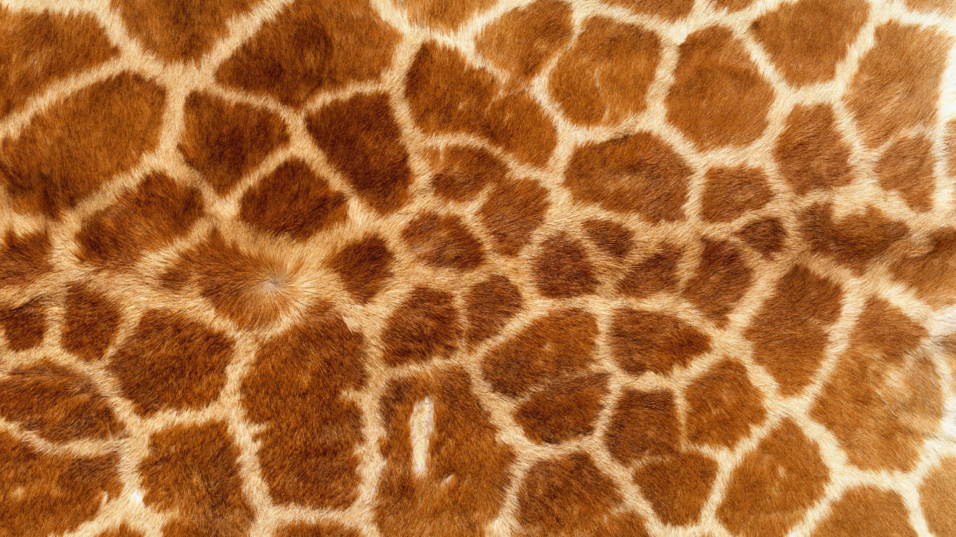 animal texture, skin, giraffe, download photo