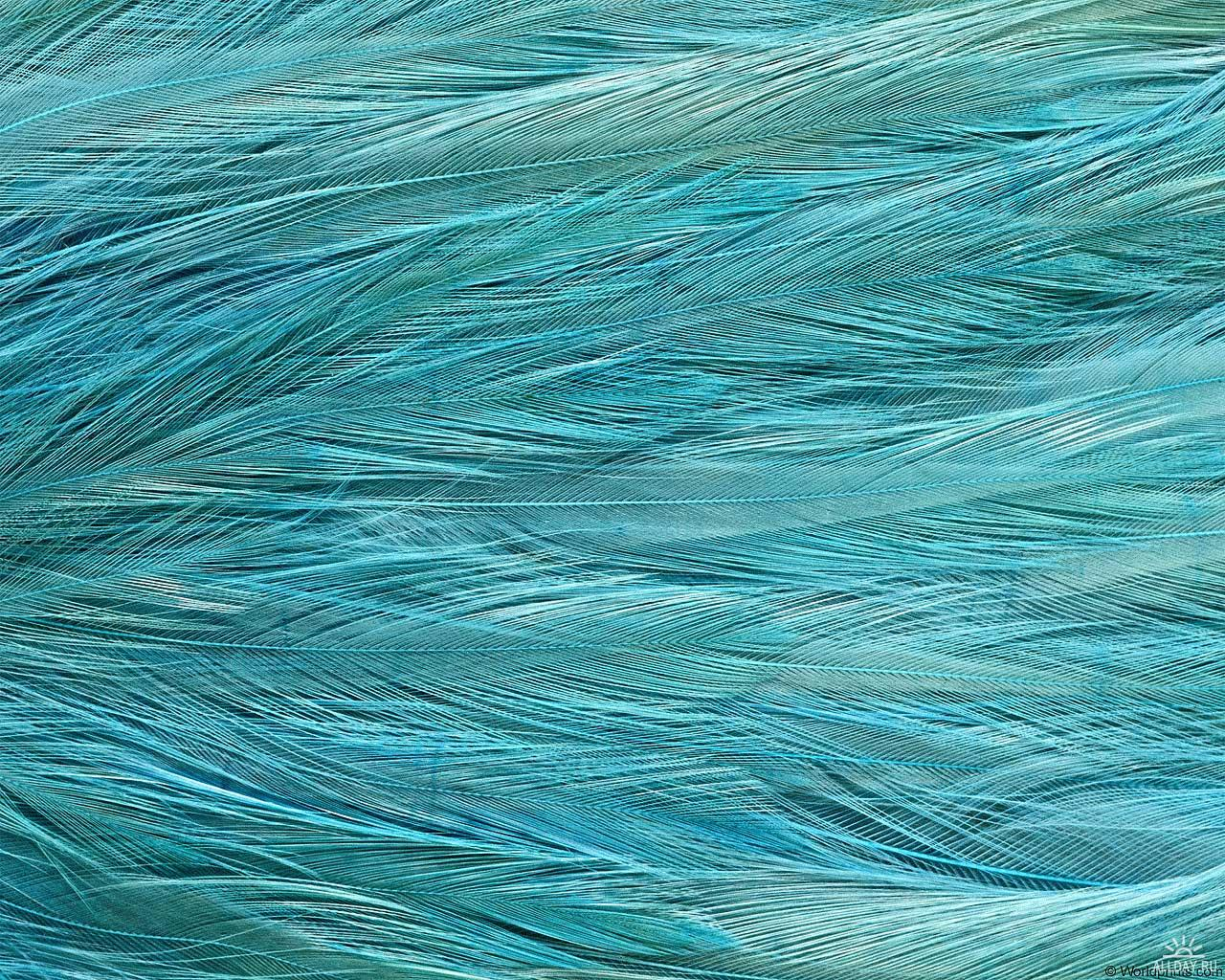 blue , texture feather, download background, photo, image, blue feather background texture