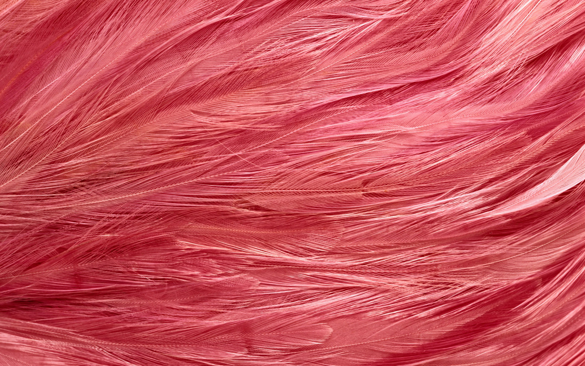 розовые перья, текстура пера, скачать фон, фото, изображение, pink feather background texture