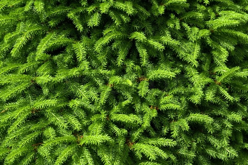 Fir tree texture background