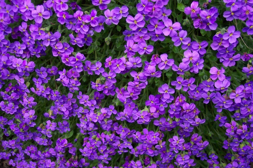 Purple flowers, texture, flowers, flower background, flower texture