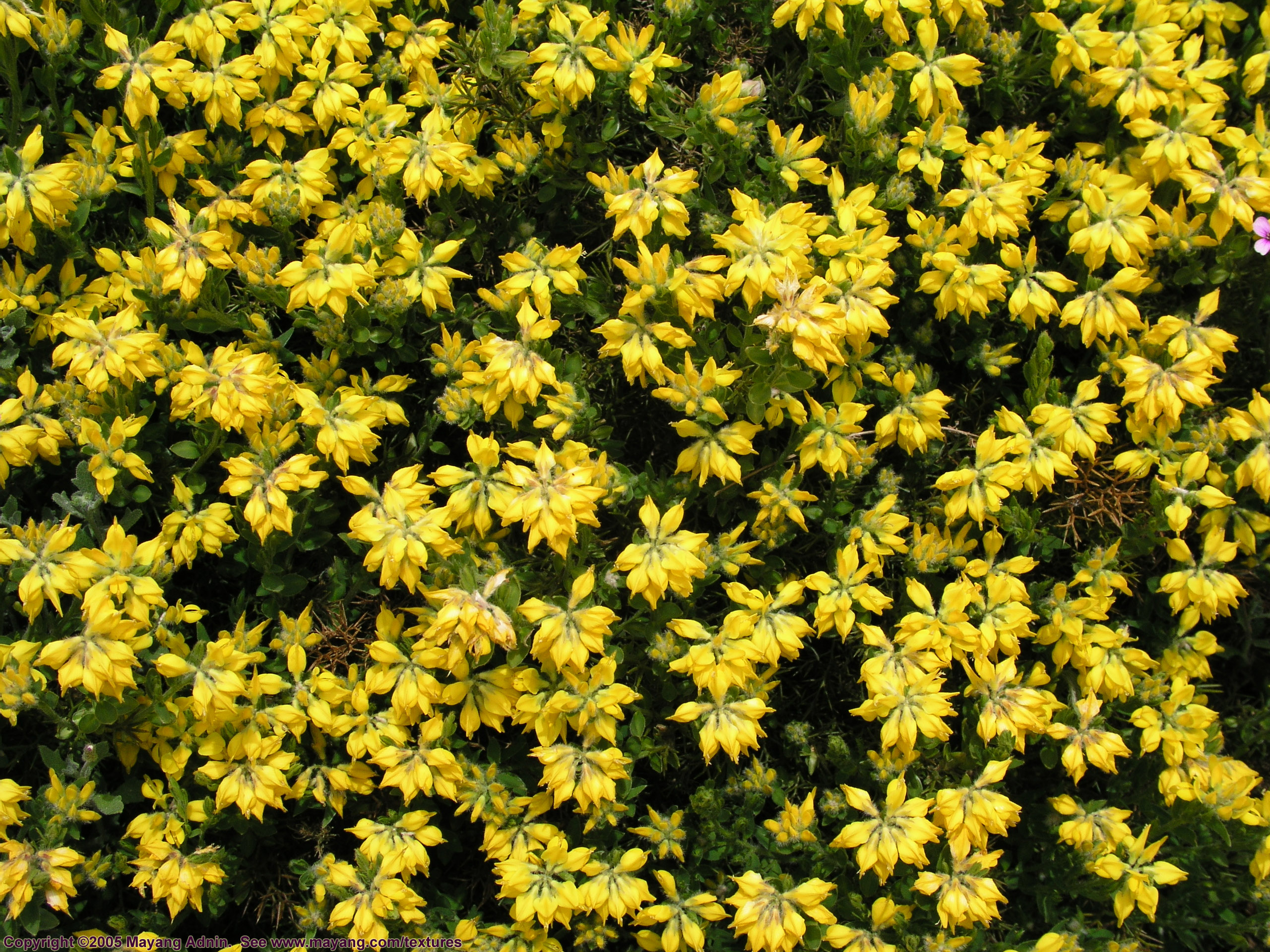 yellow texture flowers, flower background, flower texture