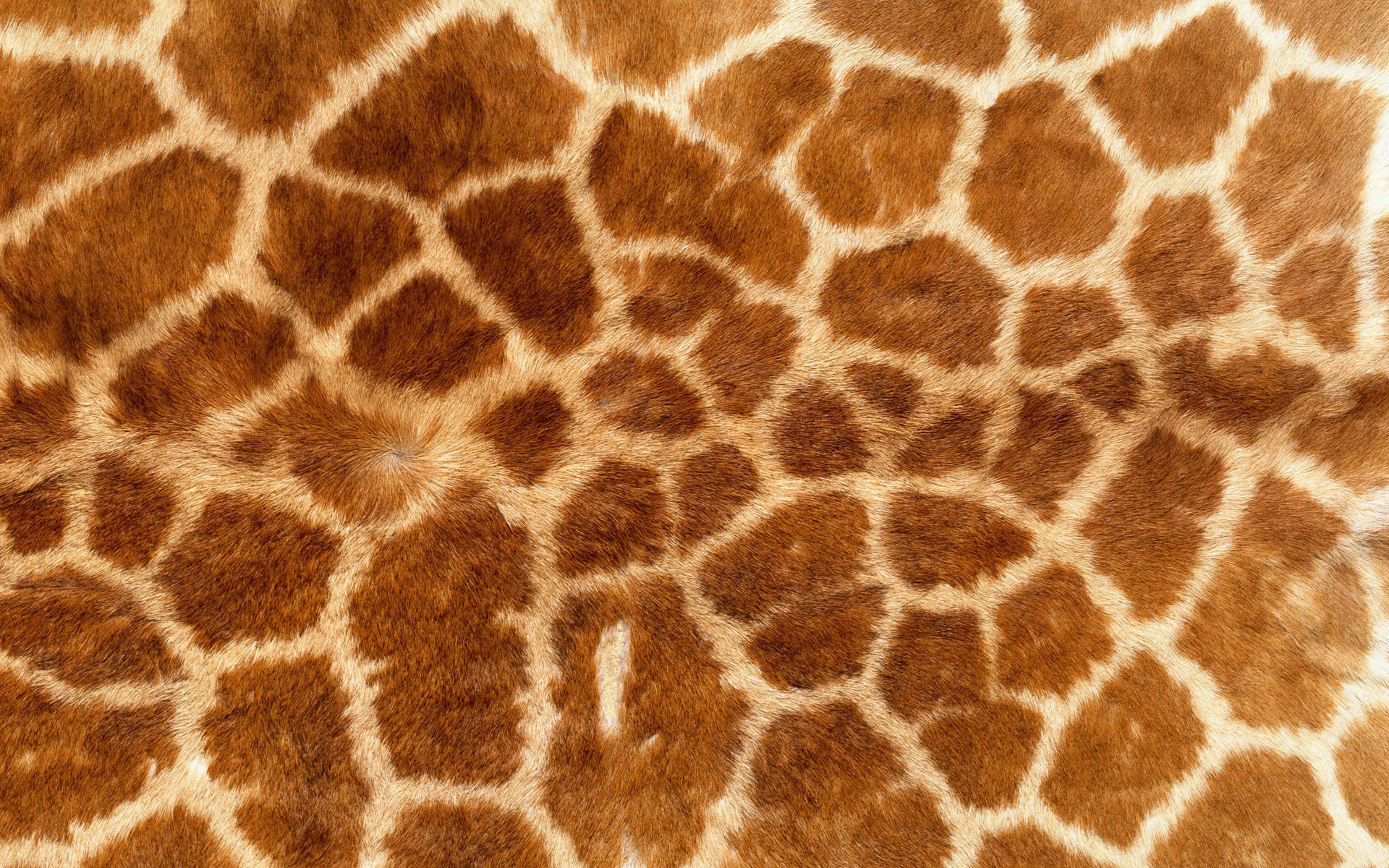 download, texture giraffe, photo, background
