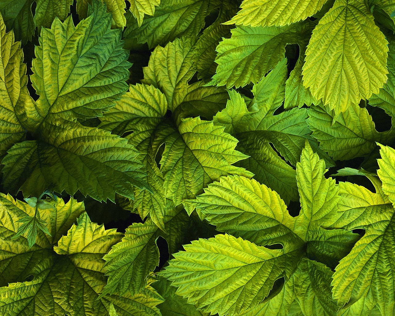 green leaves download photo, background, texture