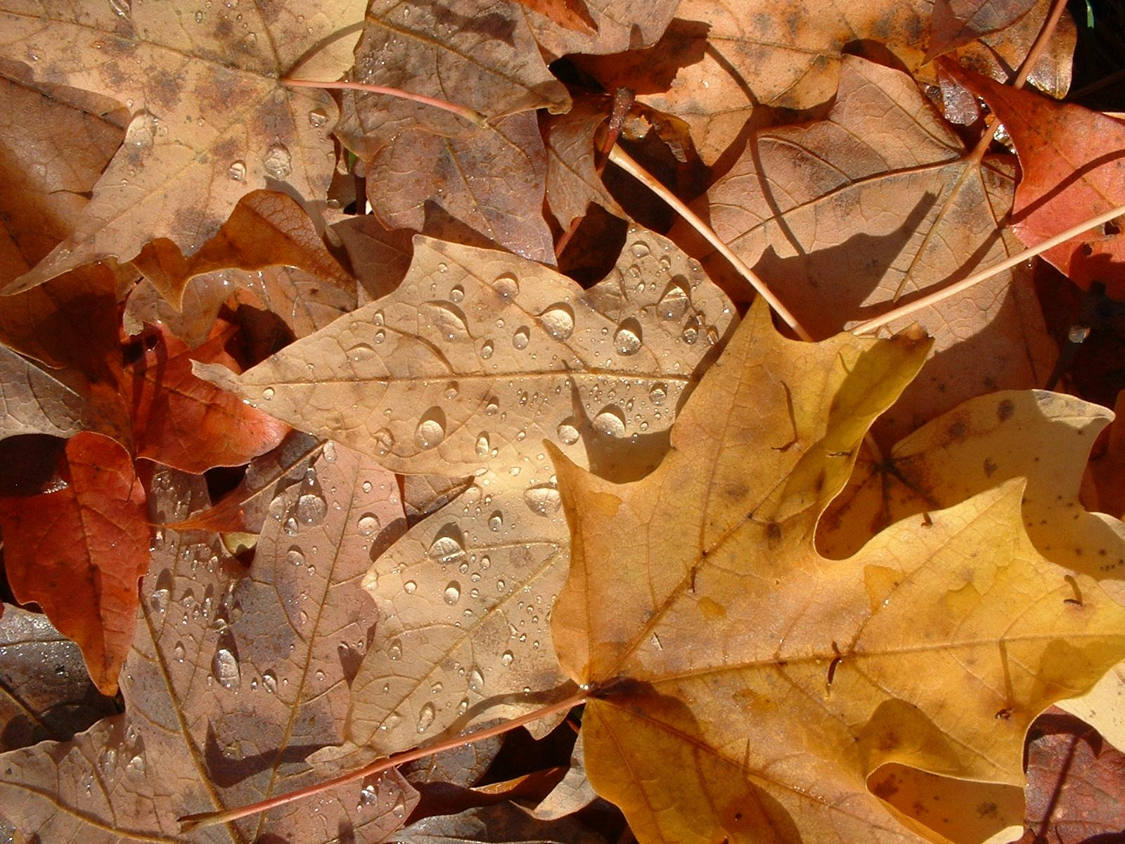 texture leaf , autumn, foliage, download photo, leaves texture