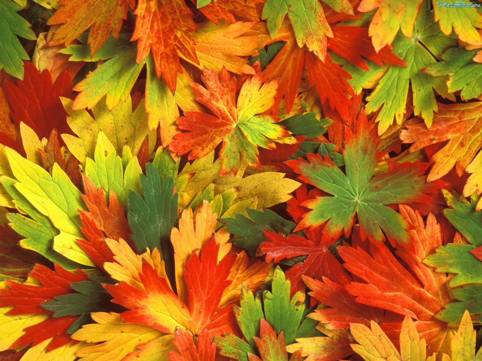 texture autumn leaves, autumn, foliage, download photo, leaves texture, colorful leaves