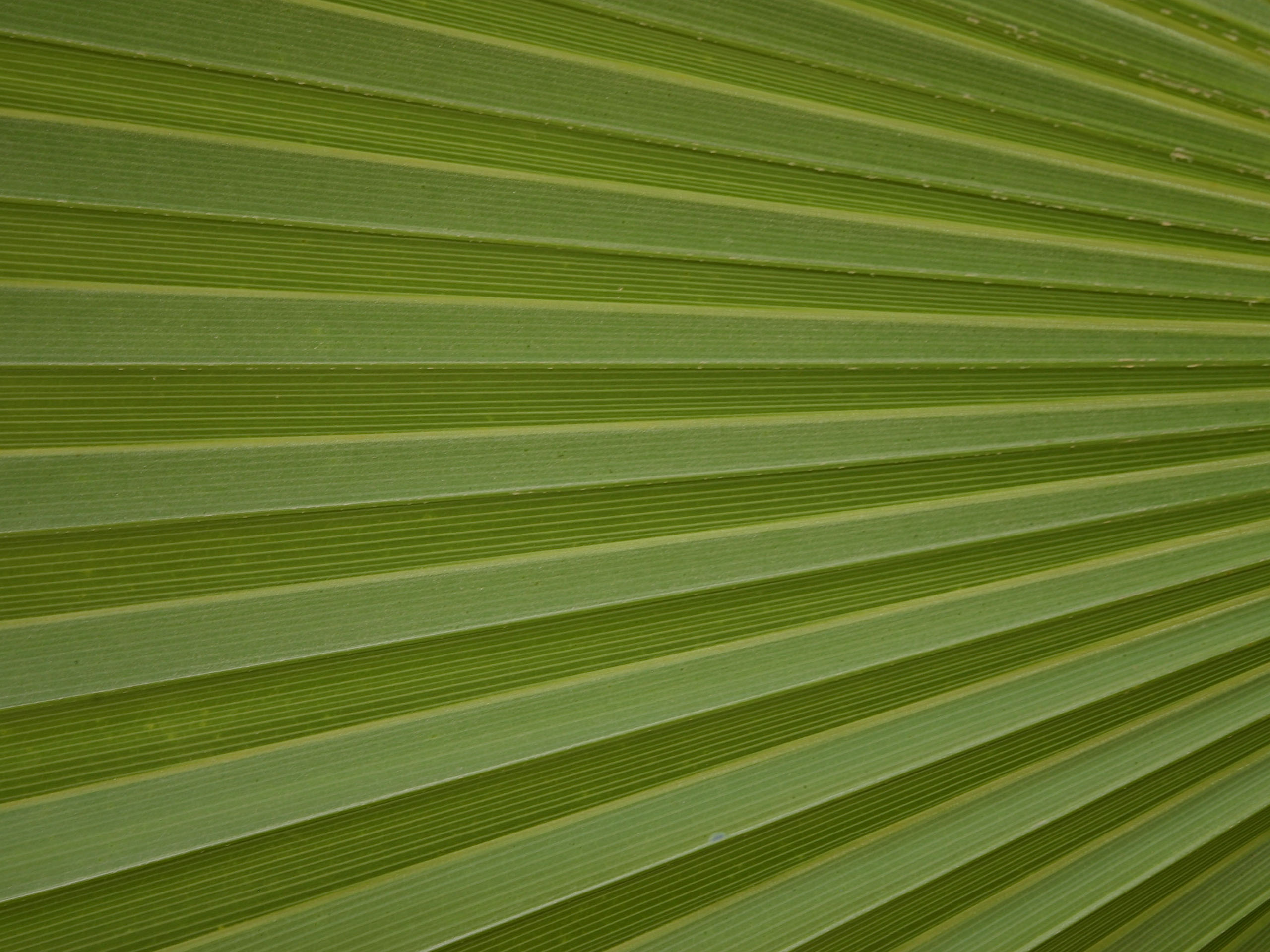 leaf palm, green leaf, download photo, texture, green leave texture, background