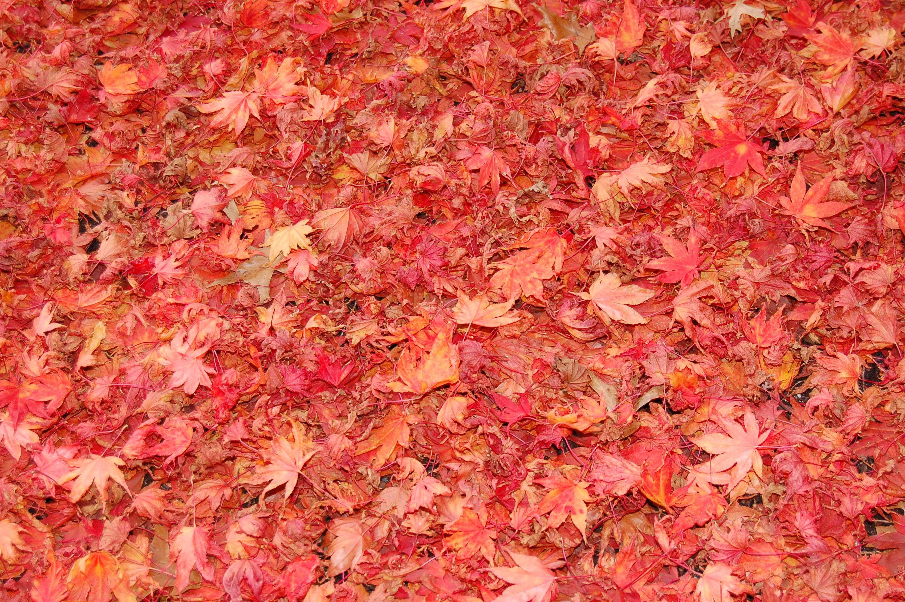 texture autumn leaf, autumn, foliage, download photo, leaves texture