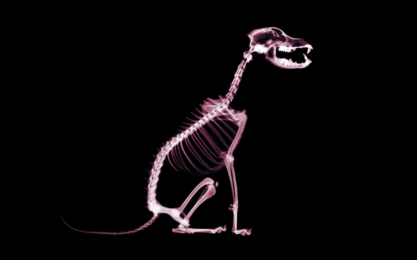 x-rays, texture, background, download photo, dog x-ray texture background
